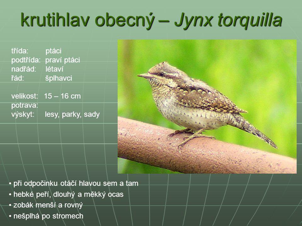 krutihlav obecný – Jynx torquilla při odpočinku otáčí hlavou sem a tam hebké peří, dlouhý a měkký ocas zobák menší a rovný nešplhá po stromech třída: