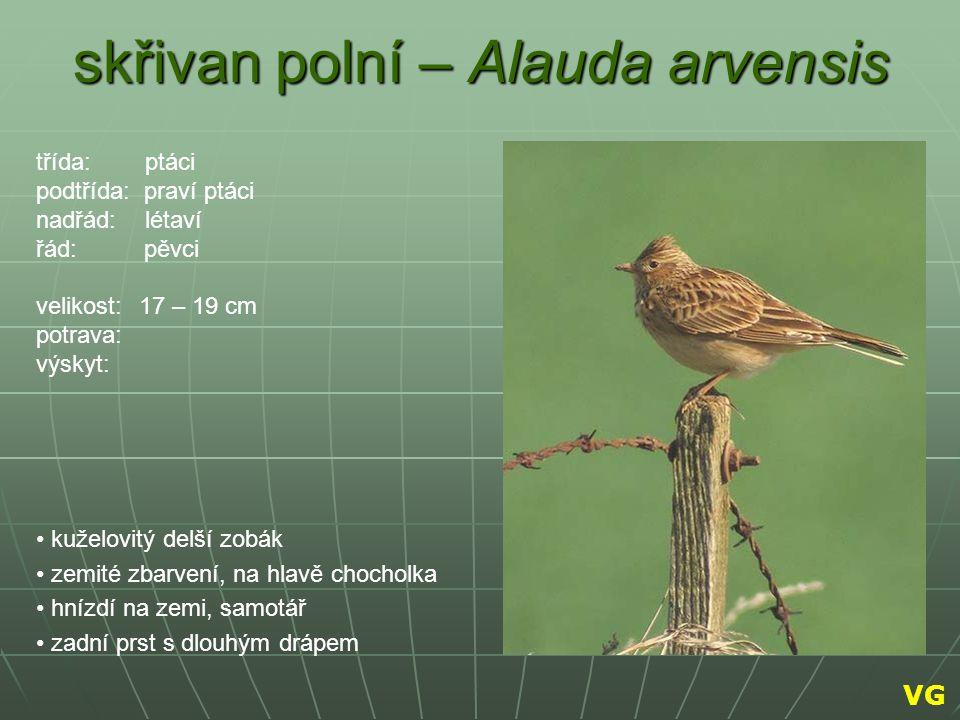 skřivan polní – Alauda arvensis kuželovitý delší zobák zemité zbarvení, na hlavě chocholka hnízdí na zemi, samotář zadní prst s dlouhým drápem třída: