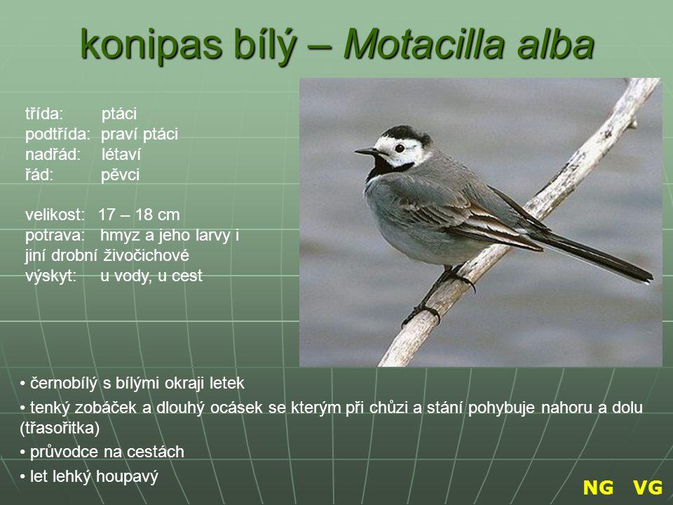 konipas bílý – Motacilla alba černobílý s bílými okraji letek tenký zobáček a dlouhý ocásek se kterým při chůzi a stání pohybuje nahoru a dolu (třasoř
