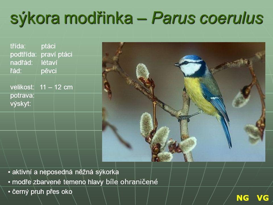sýkora modřinka – Parus coerulus aktivní a neposedná něžná sýkorka modře zbarvené temeno hlavy bíle ohraničené černý pruh přes oko třída: ptáci podtří
