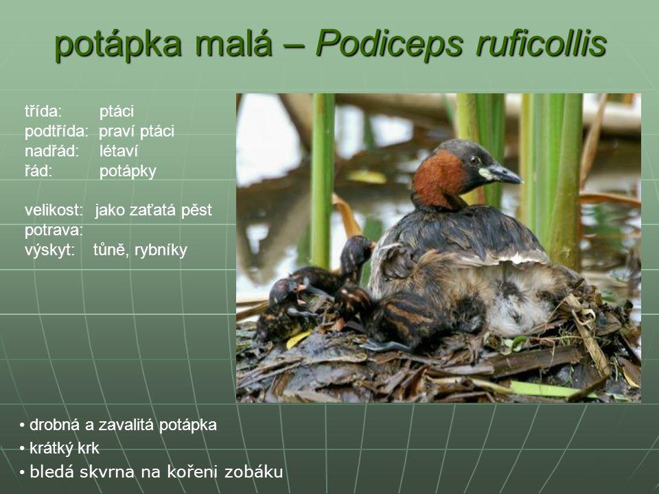 potápka malá – Podiceps ruficollis drobná a zavalitá potápka krátký krk bledá skvrna na kořeni zobáku třída: ptáci podtřída: praví ptáci nadřád: létav