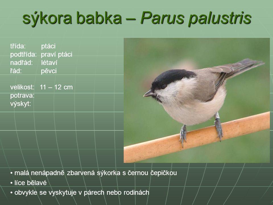 sýkora babka – Parus palustris malá nenápadně zbarvená sýkorka s černou čepičkou líce bělavé obvykle se vyskytuje v párech nebo rodinách třída: ptáci