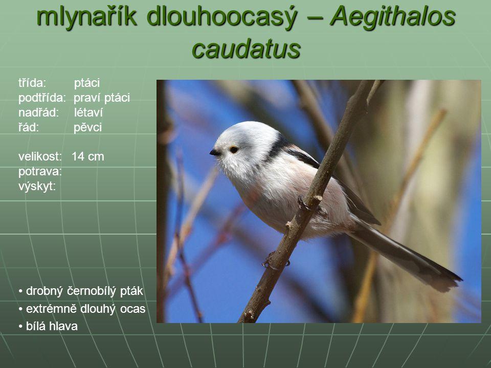 mlynařík dlouhoocasý – Aegithalos caudatus drobný černobílý pták extrémně dlouhý ocas bílá hlava třída: ptáci podtřída: praví ptáci nadřád: létaví řád