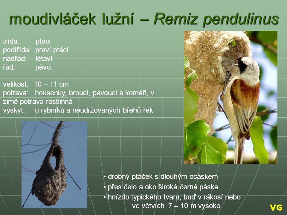 moudivláček lužní – Remiz pendulinus drobný ptáček s dlouhým ocáskem přes čelo a oko široká černá páska hnízdo typického tvaru, buď v rákosí nebo ve v