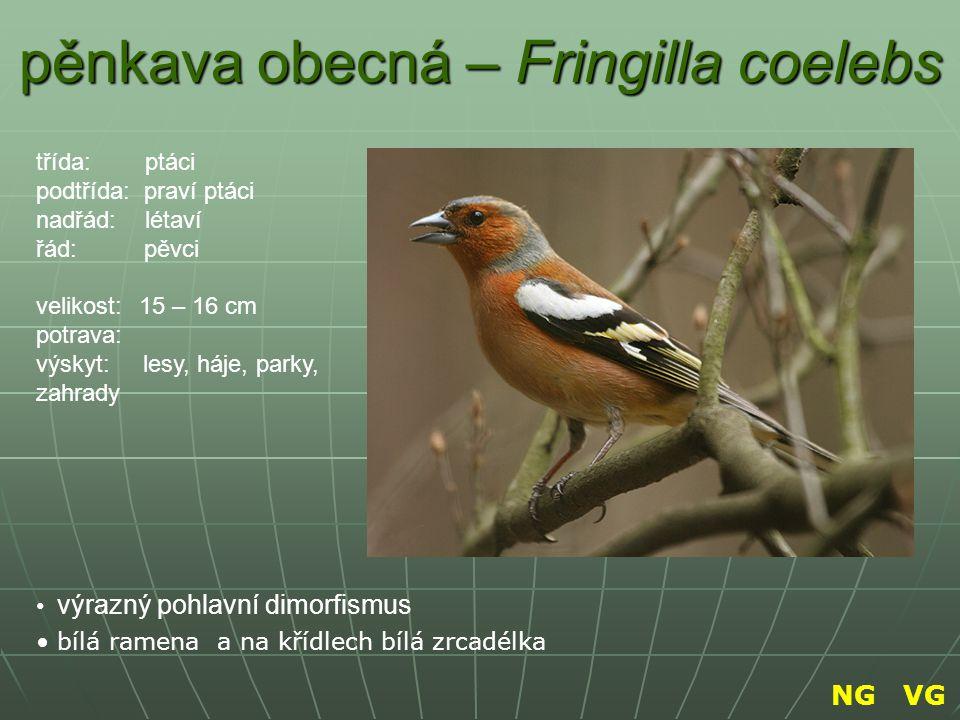 pěnkava obecná – Fringilla coelebs výrazný pohlavní dimorfismus bílá ramena a na křídlech bílá zrcadélka třída: ptáci podtřída: praví ptáci nadřád: lé