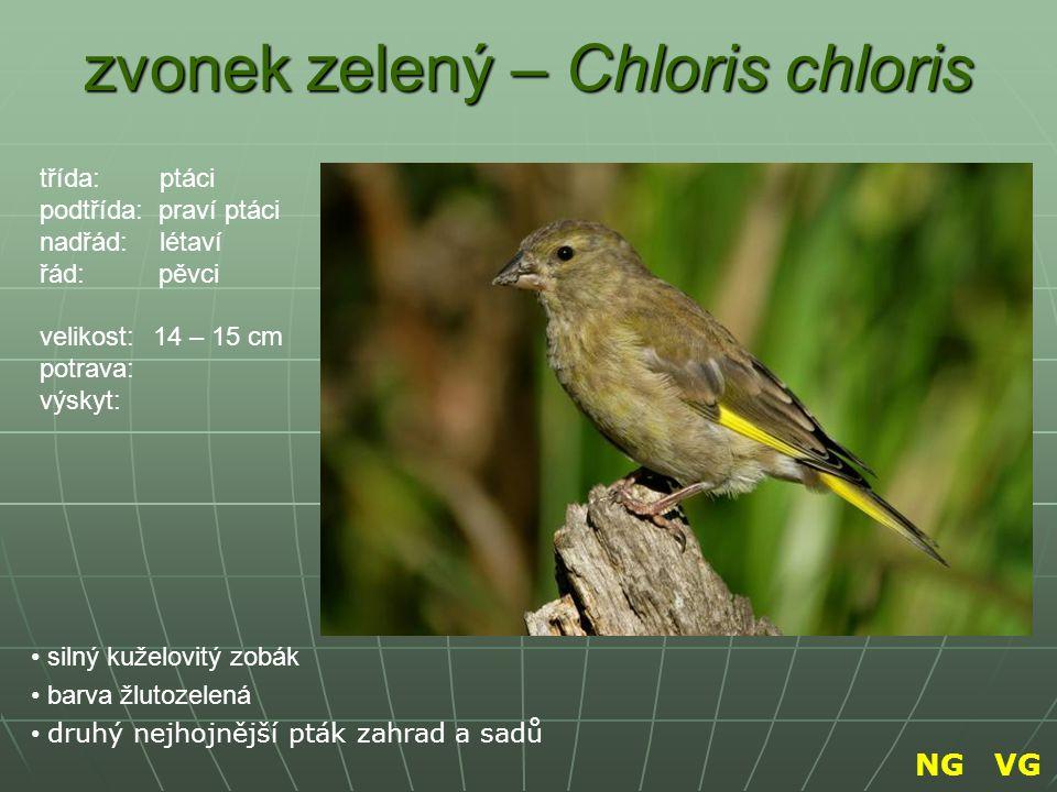 zvonek zelený – Chloris chloris silný kuželovitý zobák barva žlutozelená druhý nejhojnější pták zahrad a sadů třída: ptáci podtřída: praví ptáci nadřá