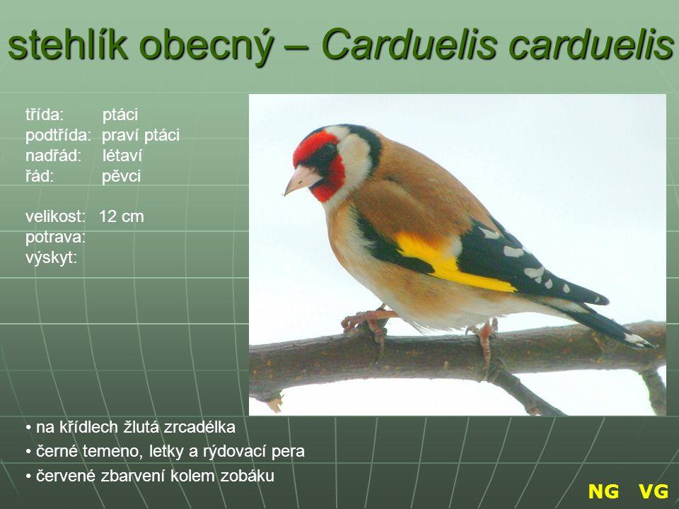 stehlík obecný – Carduelis carduelis na křídlech žlutá zrcadélka černé temeno, letky a rýdovací pera červené zbarvení kolem zobáku třída: ptáci podtří