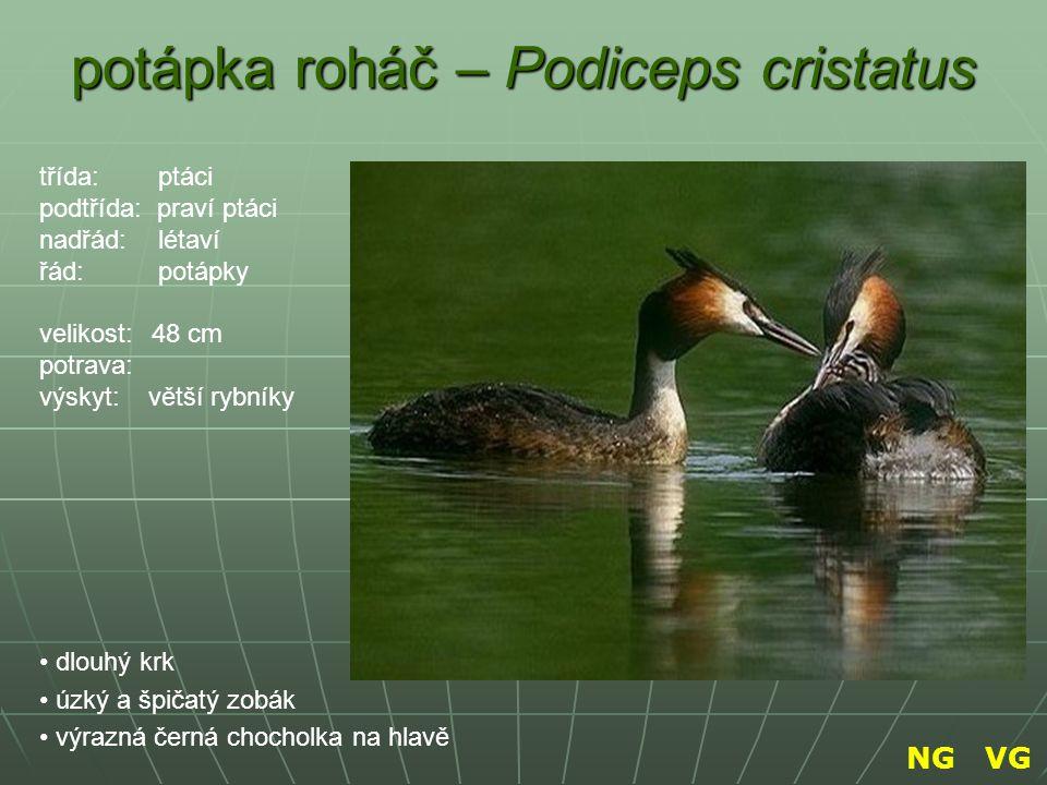 čížek lesní – Spinus spinus sytě žlutozelený černé temeno drobná černá skvrna na hrdle je malý, zavalitý třída: ptáci podtřída: praví ptáci nadřád: létaví řád: pěvci velikost: 12 cm potrava: výskyt: NG VG