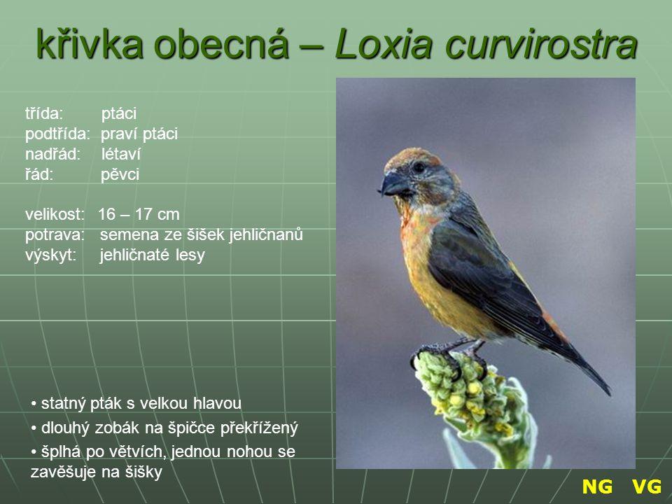 křivka obecná – Loxia curvirostra statný pták s velkou hlavou dlouhý zobák na špičce překřížený šplhá po větvích, jednou nohou se zavěšuje na šišky tř