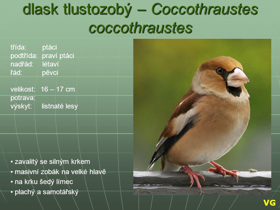 dlask tlustozobý – Coccothraustes coccothraustes zavalitý se silným krkem masivní zobák na velké hlavě na krku šedý límec plachý a samotářský třída: p