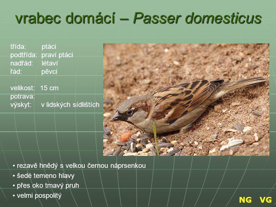 vrabec domácí – Passer domesticus rezavě hnědý s velkou černou náprsenkou šedé temeno hlavy přes oko tmavý pruh velmi pospolitý třída: ptáci podtřída: