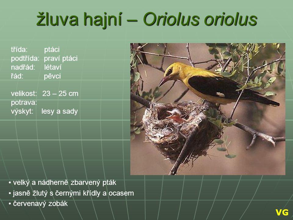 žluva hajní – Oriolus oriolus velký a nádherně zbarvený pták jasně žlutý s černými křídly a ocasem červenavý zobák třída: ptáci podtřída: praví ptáci