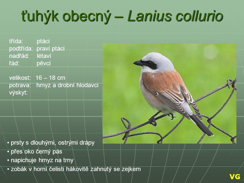 ťuhýk obecný – Lanius collurio prsty s dlouhými, ostrými drápy přes oko černý pás napichuje hmyz na trny zobák v horní čelisti hákovitě zahnutý se zej