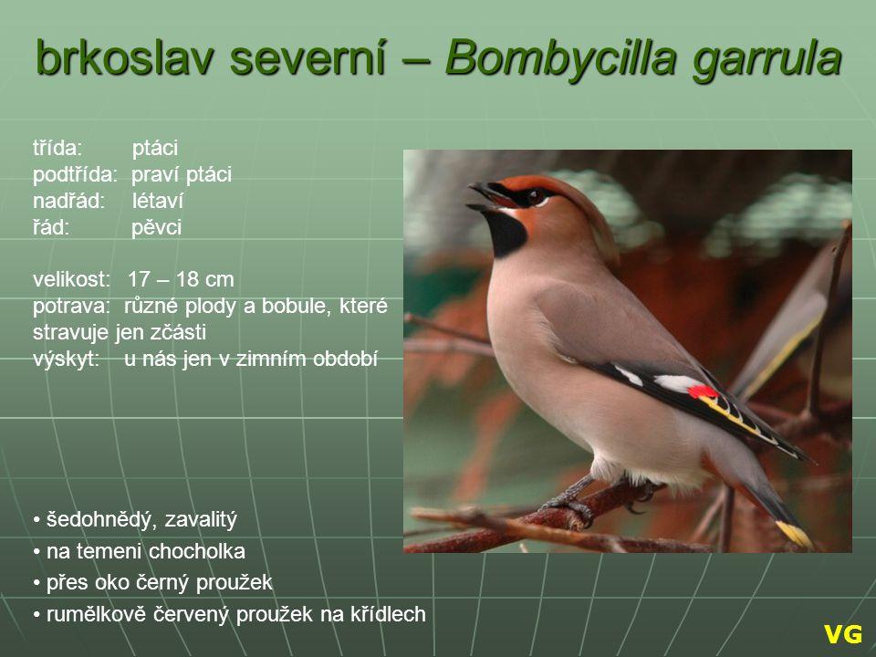 brkoslav severní – Bombycilla garrula šedohnědý, zavalitý na temeni chocholka přes oko černý proužek rumělkově červený proužek na křídlech třída: ptác