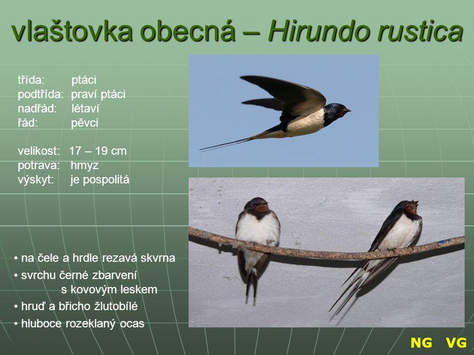 vlaštovka obecná – Hirundo rustica na čele a hrdle rezavá skvrna svrchu černé zbarvení s kovovým leskem hruď a břicho žlutobílé hluboce rozeklaný ocas