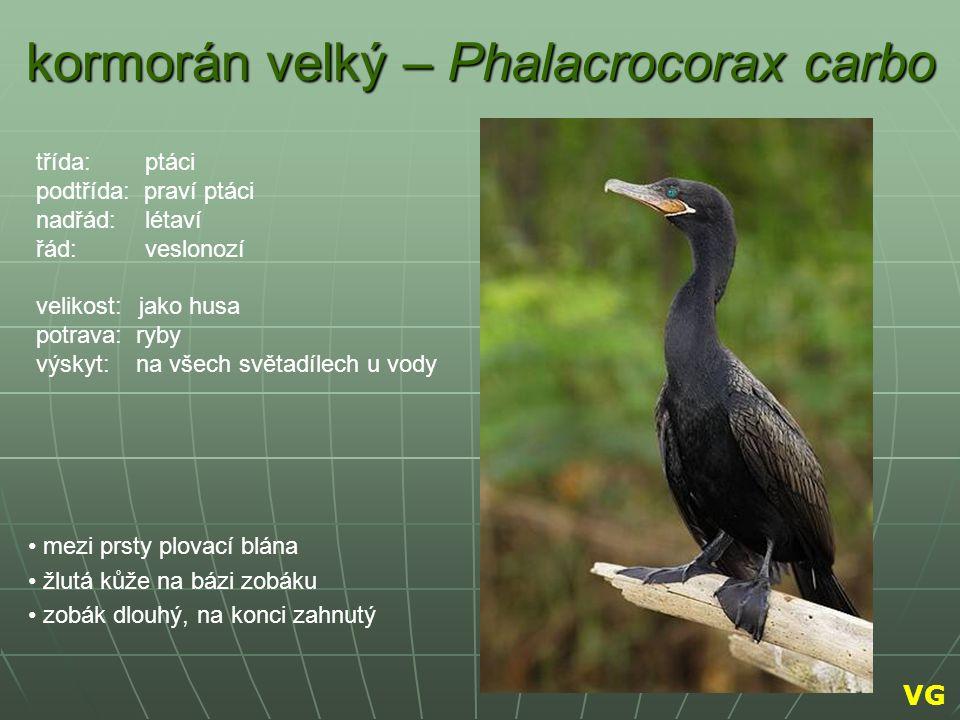 kormorán velký – Phalacrocorax carbo mezi prsty plovací blána žlutá kůže na bázi zobáku zobák dlouhý, na konci zahnutý třída: ptáci podtřída: praví pt
