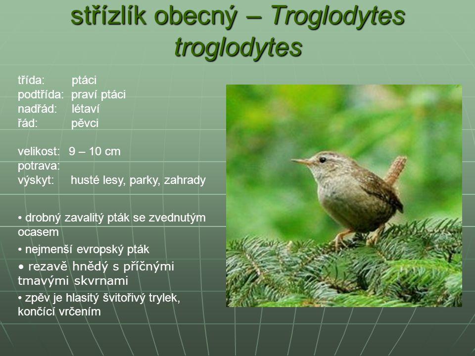 střízlík obecný – Troglodytes troglodytes drobný zavalitý pták se zvednutým ocasem nejmenší evropský pták rezavě hnědý s příčnými tmavými skvrnami zpě