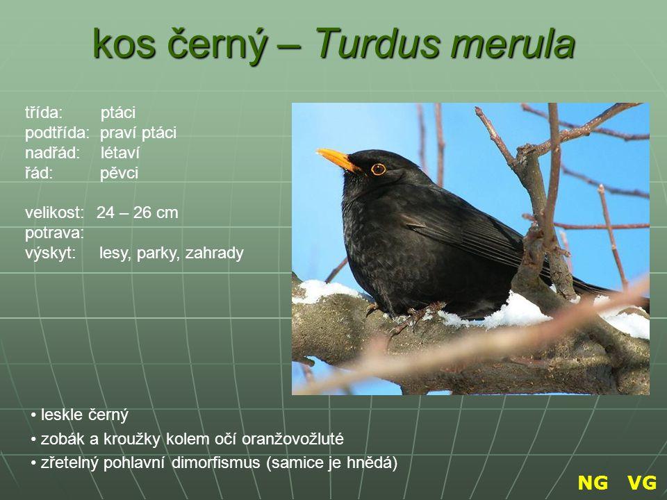 kos černý – Turdus merula leskle černý zobák a kroužky kolem očí oranžovožluté zřetelný pohlavní dimorfismus (samice je hnědá) třída: ptáci podtřída: