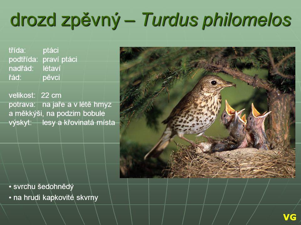 drozd zpěvný – Turdus philomelos svrchu šedohnědý na hrudi kapkovité skvrny třída: ptáci podtřída: praví ptáci nadřád: létaví řád: pěvci velikost: 22