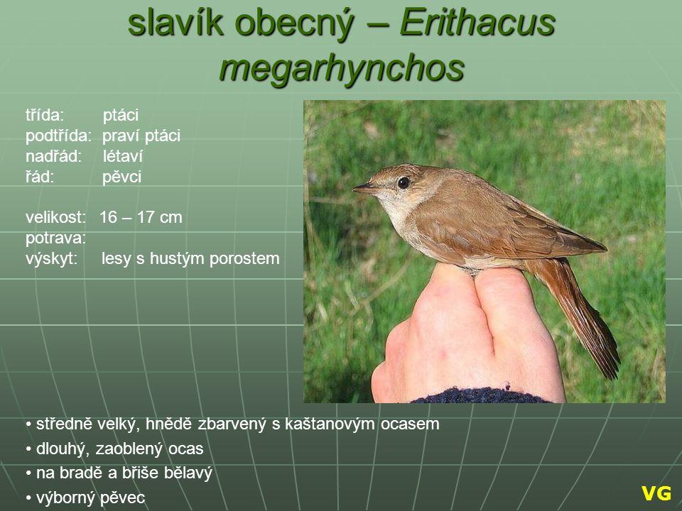 slavík obecný – Erithacus megarhynchos středně velký, hnědě zbarvený s kaštanovým ocasem dlouhý, zaoblený ocas na bradě a břiše bělavý výborný pěvec t