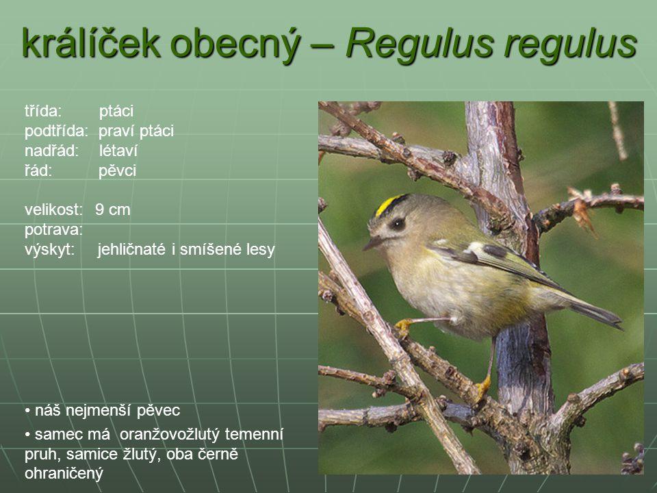 králíček obecný – Regulus regulus náš nejmenší pěvec samec má oranžovožlutý temenní pruh, samice žlutý, oba černě ohraničený třída: ptáci podtřída: pr