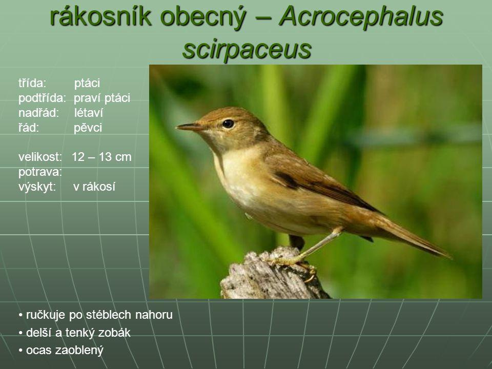 rákosník obecný – Acrocephalus scirpaceus ručkuje po stéblech nahoru delší a tenký zobák ocas zaoblený třída: ptáci podtřída: praví ptáci nadřád: léta