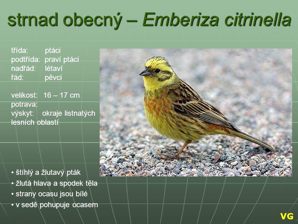 strnad obecný – Emberiza citrinella štíhlý a žlutavý pták žlutá hlava a spodek těla strany ocasu jsou bílé v sedě pohupuje ocasem třída: ptáci podtříd