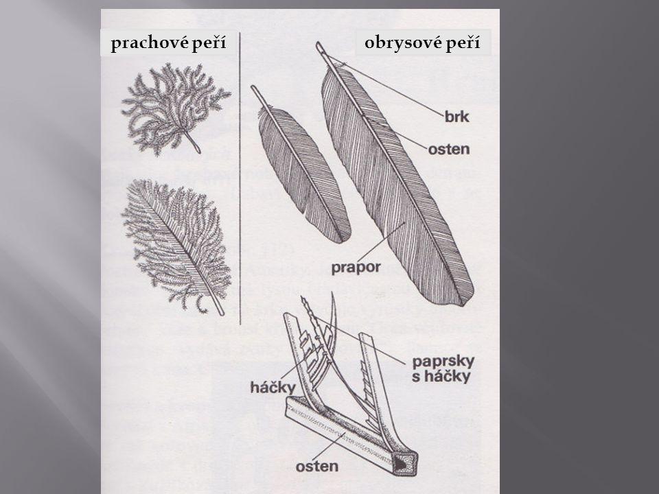 prachové peříobrysové peří