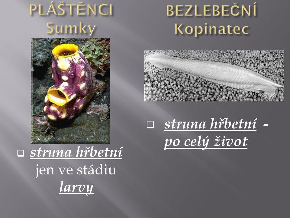  struna hřbetní jen ve stádiu larvy  struna hřbetní - po celý život