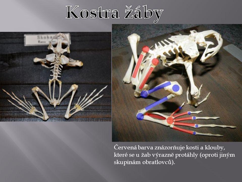 Červená barva znázorňuje kosti a klouby, které se u žab výrazně protáhly (oproti jiným skupinám obratlovců).