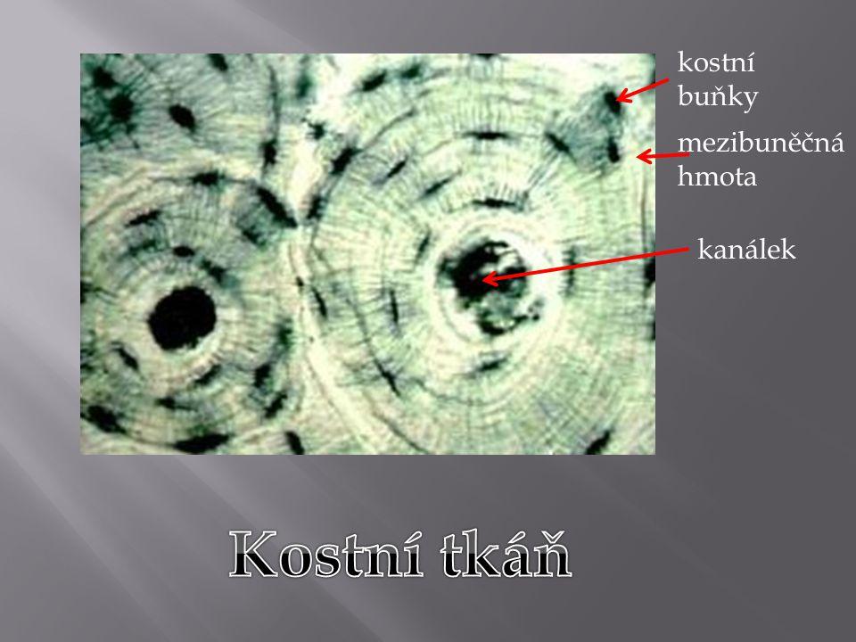 kostní buňky mezibuněčná hmota kanálek