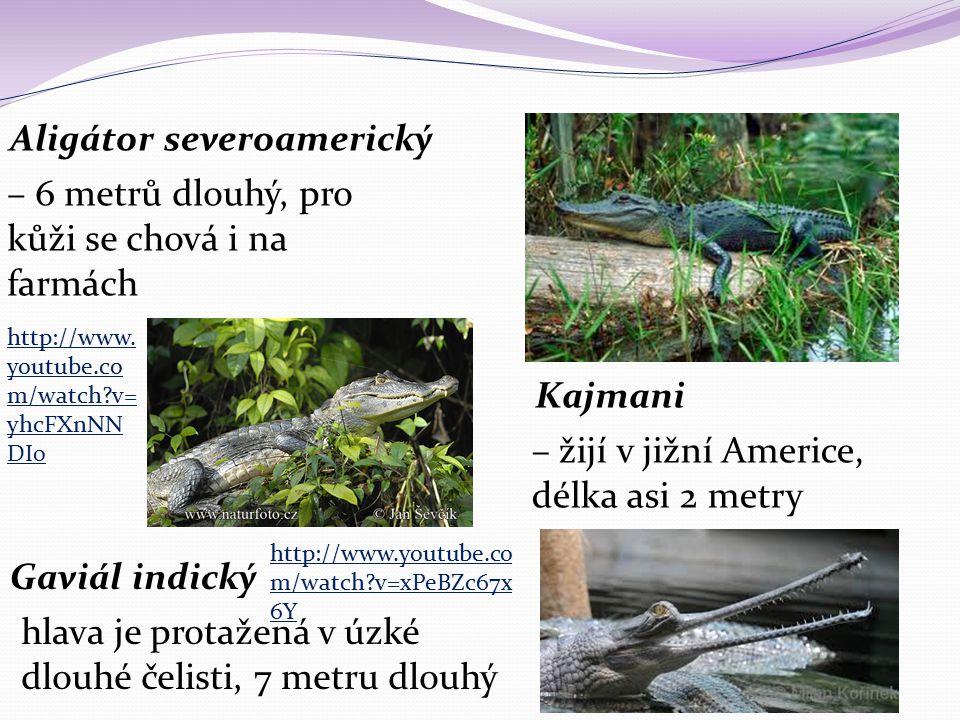 Aligátor severoamerický – 6 metrů dlouhý, pro kůži se chová i na farmách Kajmani – žijí v jižní Americe, délka asi 2 metry Gaviál indický hlava je pro