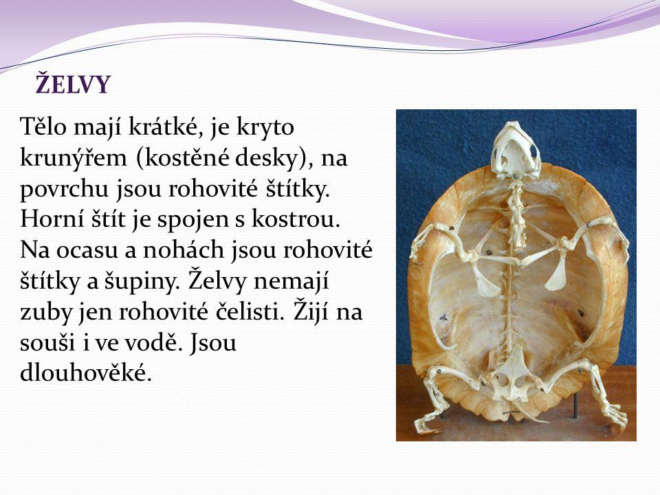 ŽELVY Tělo mají krátké, je kryto krunýřem (kostěné desky), na povrchu jsou rohovité štítky. Horní štít je spojen s kostrou. Na ocasu a nohách jsou roh