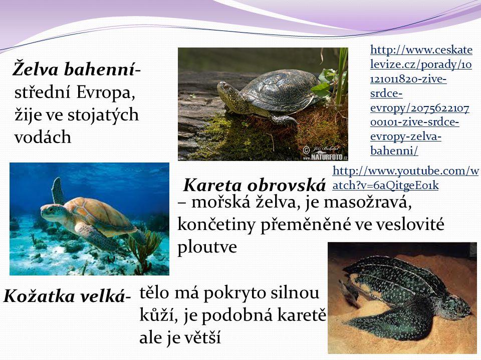 Želva bahenní- střední Evropa, žije ve stojatých vodách Kareta obrovská – mořská želva, je masožravá, končetiny přeměněné ve veslovité ploutve Kožatka