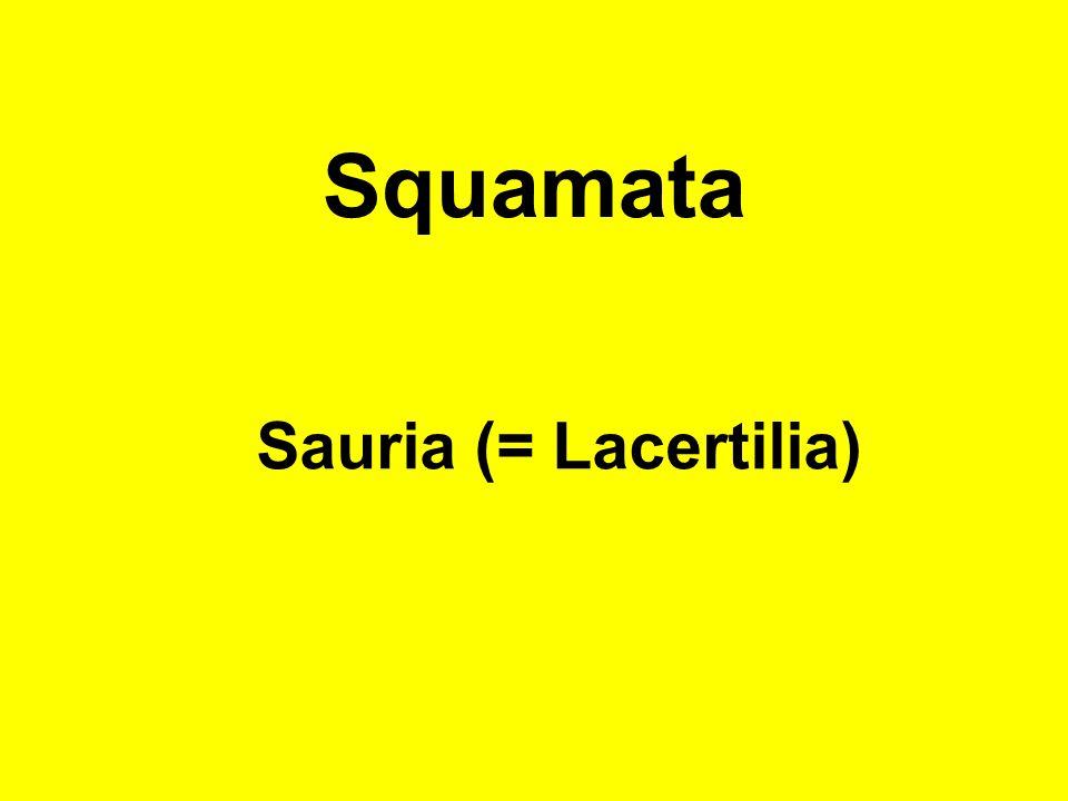 Squamata Sauria (= Lacertilia)
