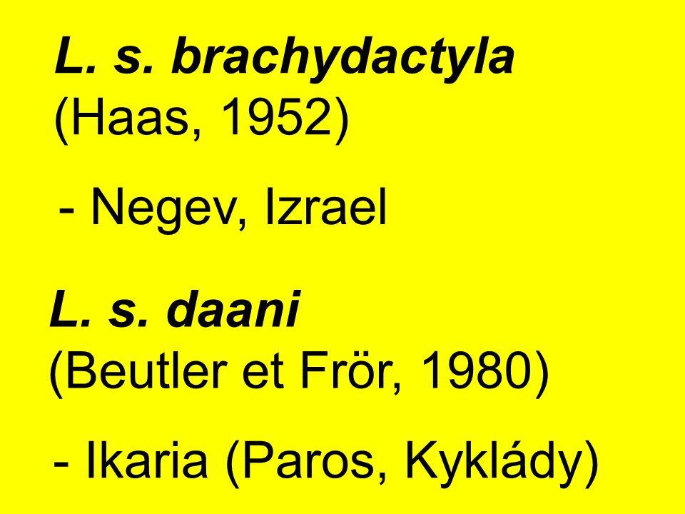 L.s. brachydactyla (Haas, 1952) - Negev, Izrael L.