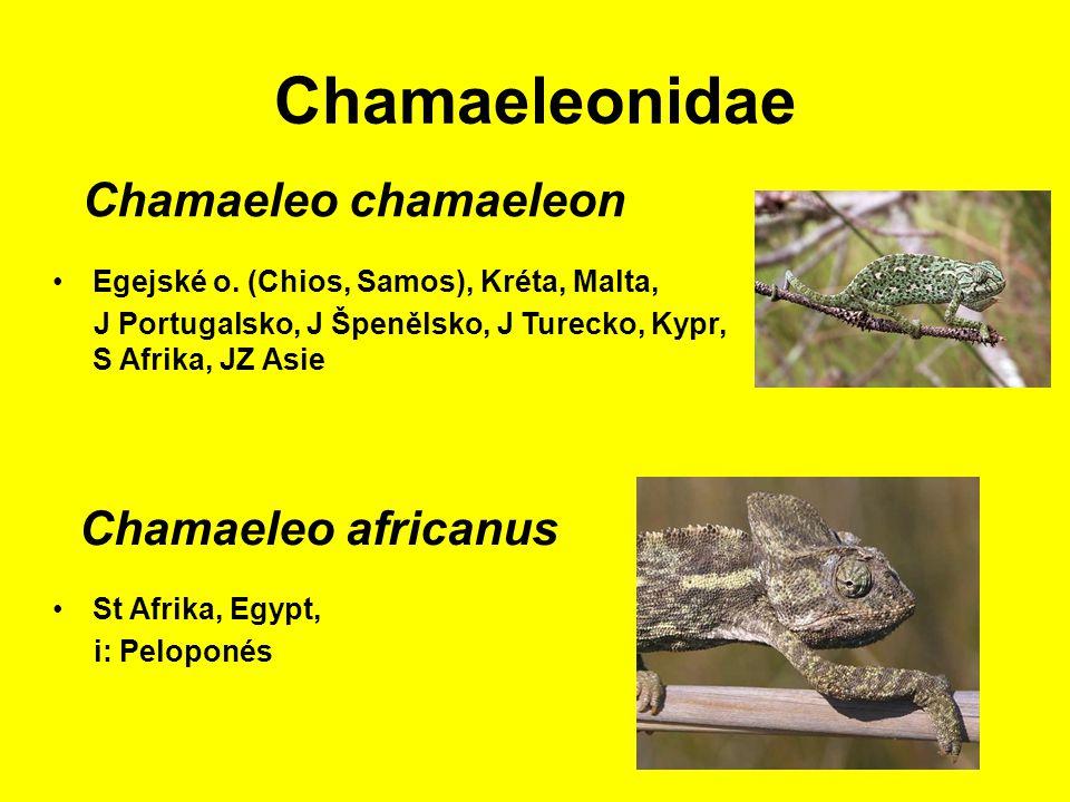 Chamaeleonidae St Afrika, Egypt, i: Peloponés Chamaeleo chamaeleon Egejské o.
