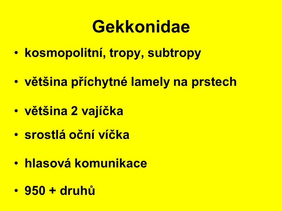 Gekkonidae kosmopolitní, tropy, subtropy hlasová komunikace většina příchytné lamely na prstech 950 + druhů většina 2 vajíčka srostlá oční víčka