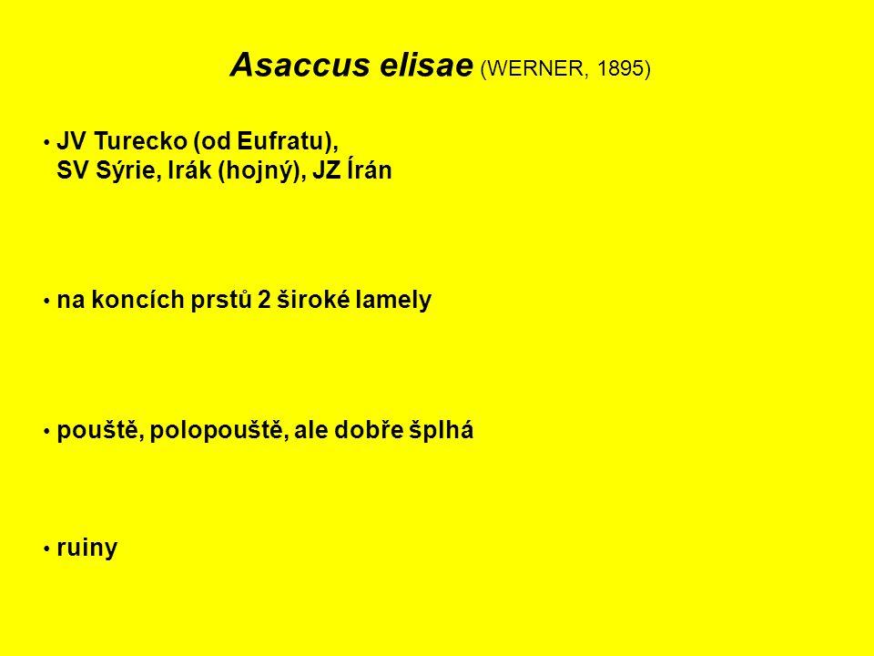 Asaccus elisae (WERNER, 1895) JV Turecko (od Eufratu), SV Sýrie, Irák (hojný), JZ Írán na koncích prstů 2 široké lamely pouště, polopouště, ale dobře šplhá ruiny