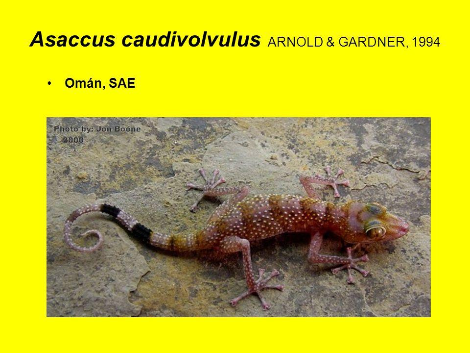 Asaccus caudivolvulus ARNOLD & GARDNER, 1994 Omán, SAE