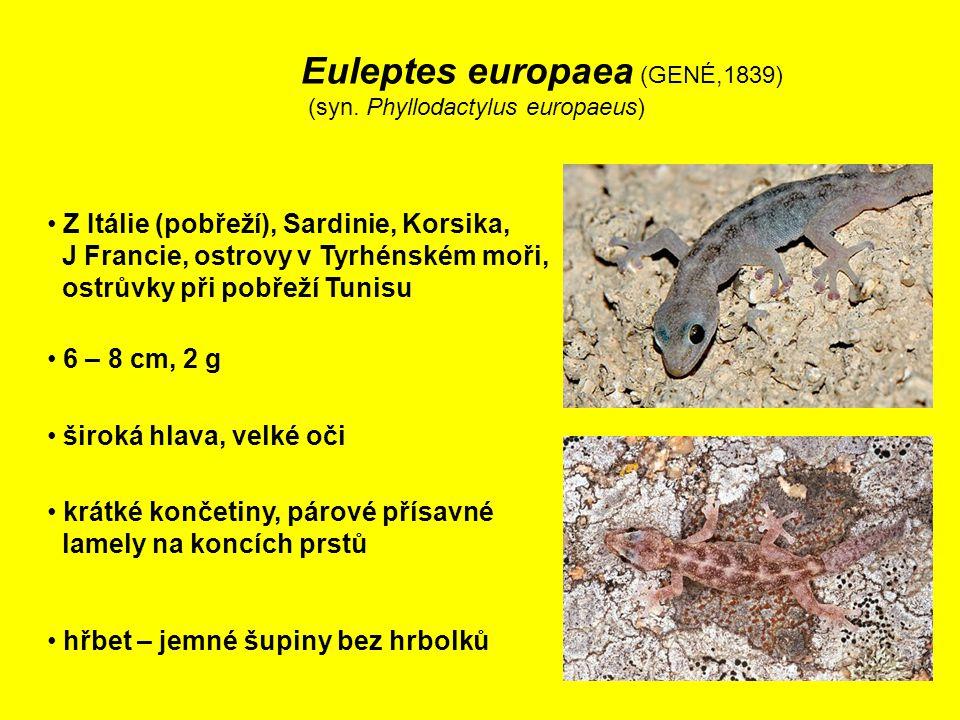 Euleptes europaea (GENÉ,1839) (syn.