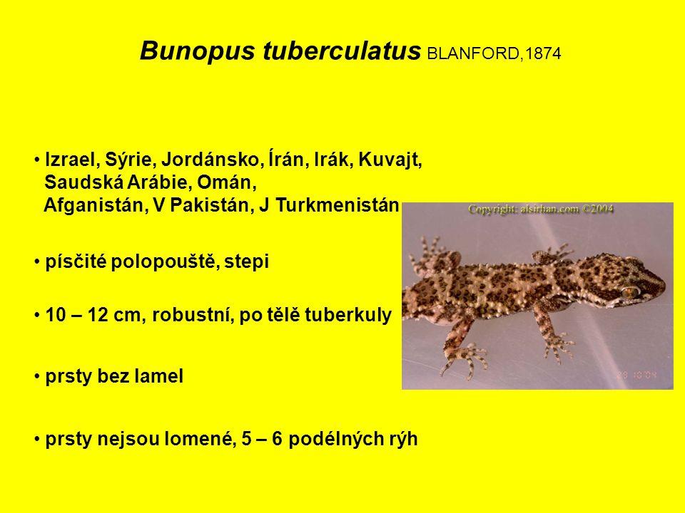 Bunopus tuberculatus BLANFORD,1874 Izrael, Sýrie, Jordánsko, Írán, Irák, Kuvajt, Saudská Arábie, Omán, Afganistán, V Pakistán, J Turkmenistán 10 – 12 cm, robustní, po tělě tuberkuly písčité polopouště, stepi prsty bez lamel prsty nejsou lomené, 5 – 6 podélných rýh
