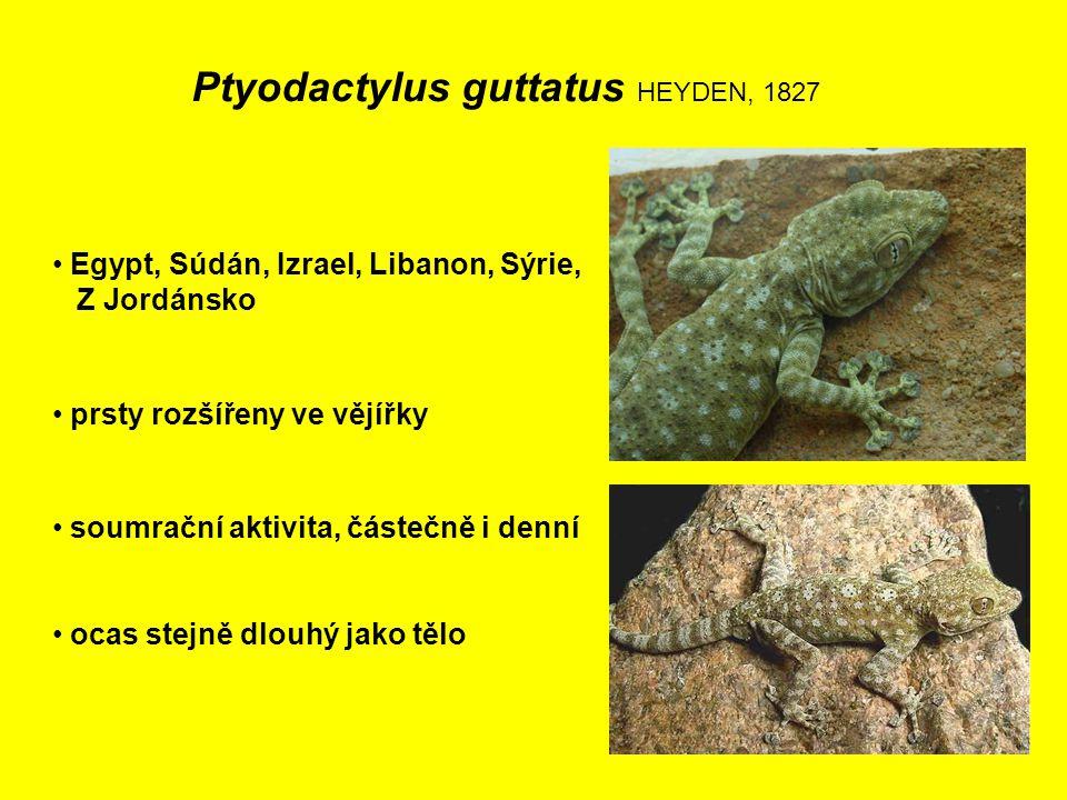 Ptyodactylus guttatus HEYDEN, 1827 Egypt, Súdán, Izrael, Libanon, Sýrie, Z Jordánsko prsty rozšířeny ve vějířky ocas stejně dlouhý jako tělo soumrační aktivita, částečně i denní