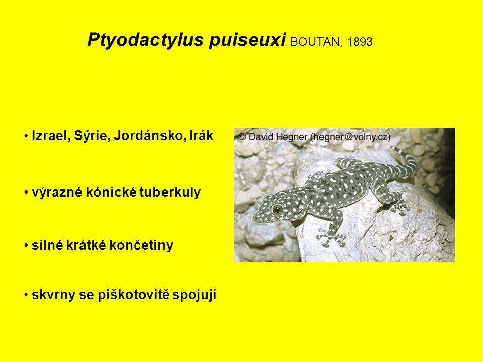 Ptyodactylus puiseuxi BOUTAN, 1893 Izrael, Sýrie, Jordánsko, Irák výrazné kónické tuberkuly skvrny se piškotovitě spojují silné krátké končetiny