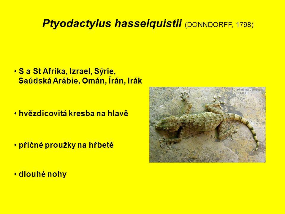 Ptyodactylus hasselquistii (DONNDORFF, 1798) S a St Afrika, Izrael, Sýrie, Saúdská Arábie, Omán, Írán, Irák hvězdicovitá kresba na hlavě dlouhé nohy příčné proužky na hřbetě