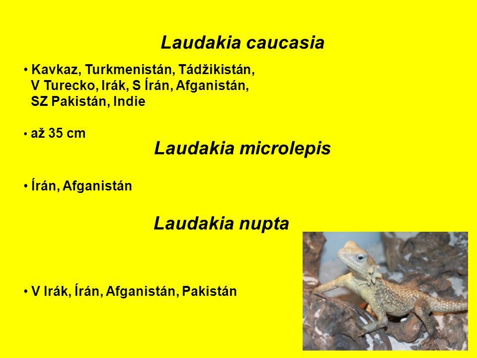 Laudakia caucasia Kavkaz, Turkmenistán, Tádžikistán, V Turecko, Irák, S Írán, Afganistán, SZ Pakistán, Indie až 35 cm Laudakia microlepis Írán, Afganistán V Irák, Írán, Afganistán, Pakistán Laudakia nupta