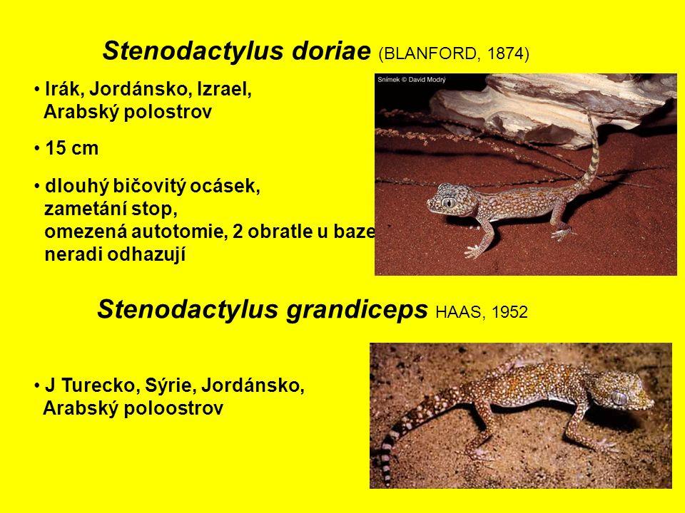 Stenodactylus grandiceps HAAS, 1952 J Turecko, Sýrie, Jordánsko, Arabský poloostrov 15 cm Irák, Jordánsko, Izrael, Arabský polostrov Stenodactylus doriae (BLANFORD, 1874) dlouhý bičovitý ocásek, zametání stop, omezená autotomie, 2 obratle u baze neradi odhazují