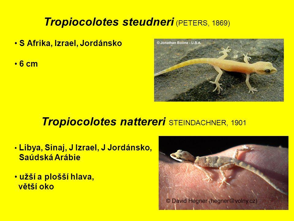 Tropiocolotes nattereri STEINDACHNER, 1901 Libya, Sinaj, J Izrael, J Jordánsko, Saúdská Arábie 6 cm S Afrika, Izrael, Jordánsko Tropiocolotes steudneri (PETERS, 1869) užší a plošší hlava, větší oko