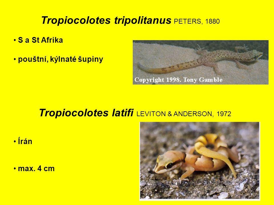 Tropiocolotes latifi LEVITON & ANDERSON, 1972 Írán pouštní, kýlnaté šupiny S a St Afrika Tropiocolotes tripolitanus PETERS, 1880 max.