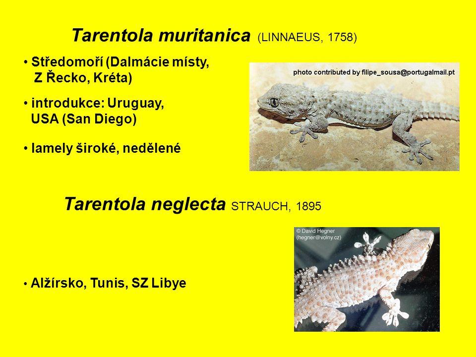 Tarentola neglecta STRAUCH, 1895 Alžírsko, Tunis, SZ Libye introdukce: Uruguay, USA (San Diego) Středomoří (Dalmácie místy, Z Řecko, Kréta) Tarentola muritanica (LINNAEUS, 1758) lamely široké, nedělené